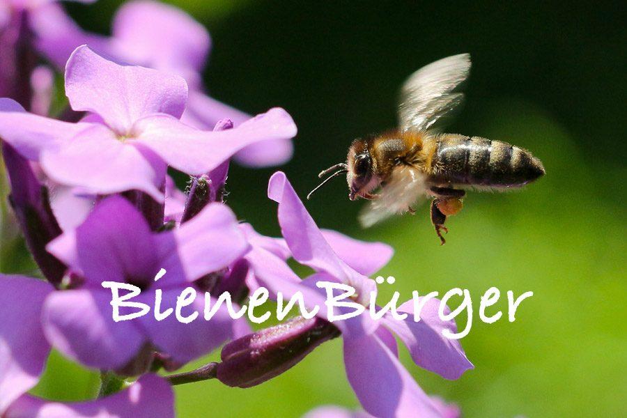 BienenBürger/BienenBürger/ Biene fliegt zu lila Blume