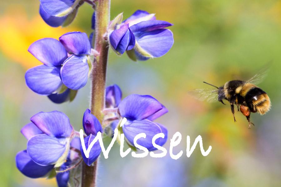 BienenBürger/Wissen/ Hummel fliegt zu Lupinie